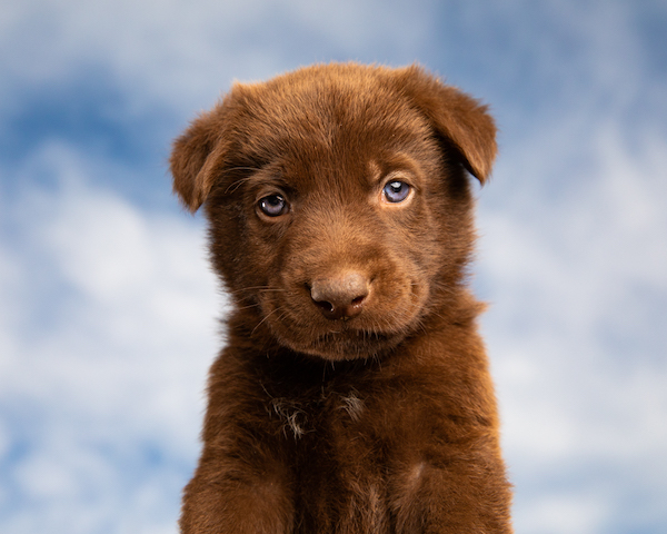 Cute Brown Puppy Against Blue Sky by Mark Rogers